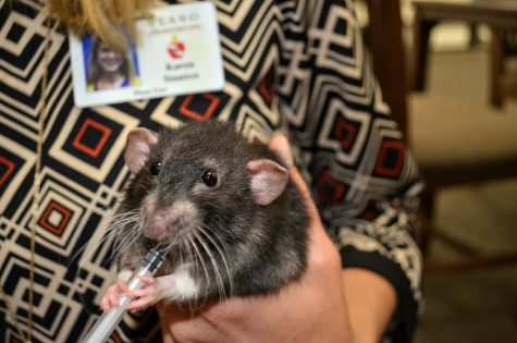 "While held by IB coordinator Karen Stanton, Gus peers into the camera. Gus drank medicine for his mild respiratory infection from a syringe. ""I'll sometimes go out [to the cage] and hold them or take a little break,"" Stanton said."
